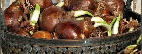 Large Paperwhites Flower Bulbs, Buy Large Flower Bulbs, Top-Quality   Annie Haven   Haven Brand   Scoop.it