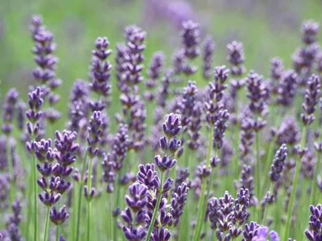 Lavender Stone Massag | Merry2ei | Scoop.it