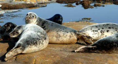 Seals face cull in bid to save Swedish fish stocks - The Local | Impact on Wildlife | Scoop.it
