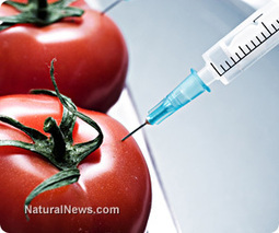 New monstrous breeds of GMO tomato coming to a store near you | Commodities, Resource and Freedom | Scoop.it