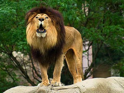 Zoo Sells Lions to African Trophy Hunting Park | Nature Animals humankind | Scoop.it