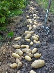 A la louange de la pomme de terre Amandine | jardin | Scoop.it