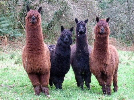 Color Choices For Your Alpaca Farm – how to start a successful ... | Alpaga | Scoop.it
