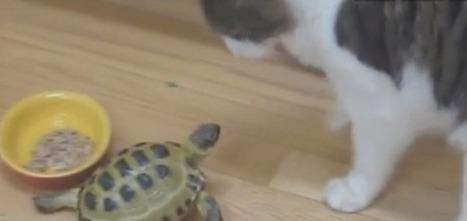 [VIDEO] Une tortue s'attaque à un chien et un chat, et elle ne lâche rien ! | CaniCatNews-actualité | Scoop.it