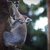 Baby Lemurs Make Debut At Canberra National Zoo - The Inquisitr | Ring Tailed Lemurs | Scoop.it