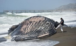 Why are so many #whales #dying on #California's shores? | Rescue our Ocean's & it's species from Man's Pollution! | Scoop.it