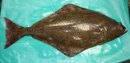 CANADA: First Atlantic halibut fishery achieves MSC certification | Aquaculture and Fisheries World Briefing | Scoop.it