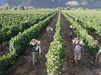 Argentine: récolte 2012  -10% à San Juan | Autour du vin | Scoop.it