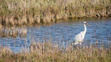 Endangered bird case in Texas may go to Supreme Court - mySanAntonio.com | Texas Stream Team | Scoop.it