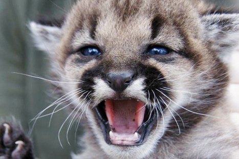 Petition urges Fish and Game to change mountain lion policies in wake of Half ... - San Francisco Examiner   Conservation, Ecology, Environment and Green News   Scoop.it