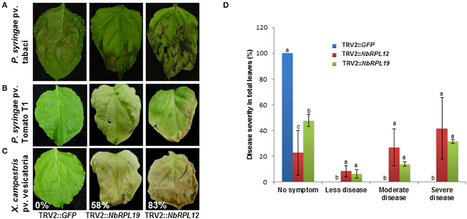 Frontiers | Plant Ribosomal Proteins, RPL12 and RPL19, Play a Role in Nonhost Disease Resistance against Bacterial Pathogens | Plant Biotic Interactions | Plant-Microbe Interaction | Scoop.it