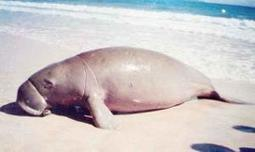 Dugongs on brink of extinction, poaching continues in India - The Times of India | All about water, the oceans, environmental issues | Scoop.it