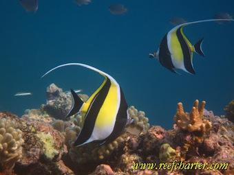 Moorish Idols – Species of the Reef | Great Barrier Reef | Cairns, Australia | Australian animals | Scoop.it