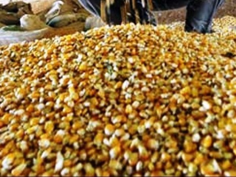 Experts urge govt to check sale of 'fake' GM seeds - Express Tribune (2012) | Ag Biotech News | Scoop.it