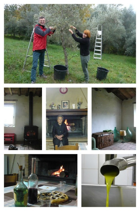 Olive picking in Le Marche: the taste of the old times   Le Marche another Italy   Scoop.it