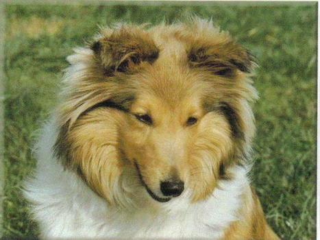 le berger des Shetland - les chiens   chiens shetland   Scoop.it