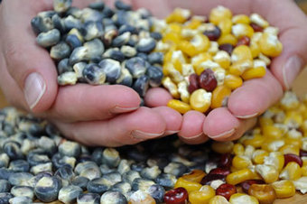 Heirloom Corn, Native Recipes & Pickled Jalapeños | Permaculture, Homesteading & Green Technology | Scoop.it