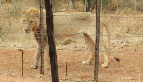 Photos Show Lions Starving At Nightmare Breeding Farm | Our Evolving Earth | Scoop.it