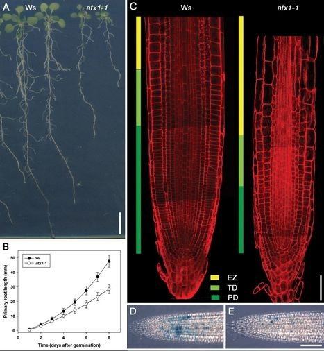 J Exp Bot: ARABIDOPSIS HOMOLOG of TRITHORAX1 (ATX1) is required for cell production, patterning, and morphogenesis in root development | Science Tools | Scoop.it
