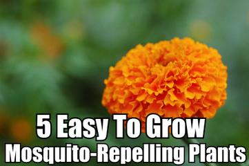 5 Easy To Grow Mosquito-Repellent Plants | Paz y bienestar interior para un Mundo Mejor | Scoop.it