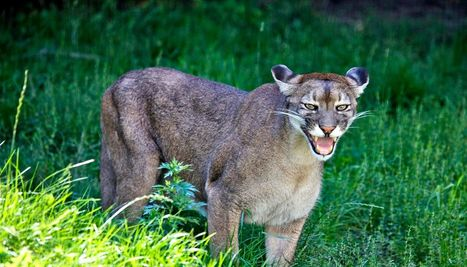 How cougars would keep deer from killing people - Futurity | Oceans and Wildlife | Scoop.it