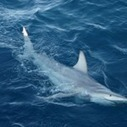 World-first hybrid shark found off Australia | Share Some Love Today | Scoop.it