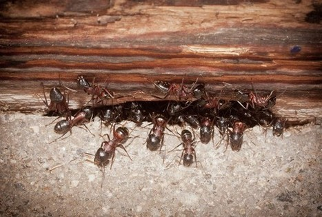Evidence Shows Slave Ants Rebel Against Oppressors | Social Foraging | Scoop.it