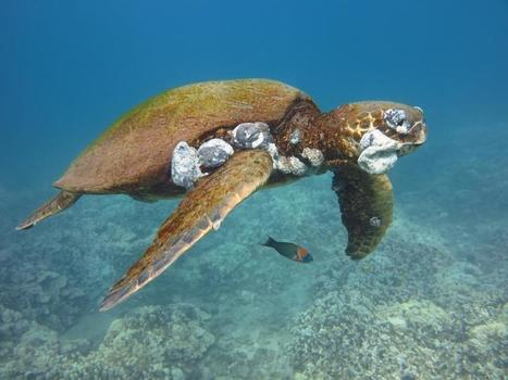 How Humans Are Causing Lethal Tumors on Endangered Sea Turtles | Biodiversity protection | Scoop.it