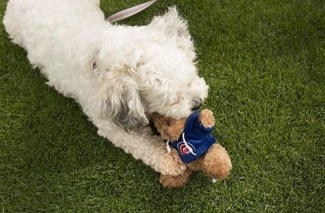 Brewers new mascot dog Hank chews on Cubs toy | Larry Brown ... | Mascots in the news | Scoop.it