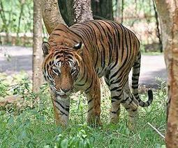 India plans new sanctuary to boost tiger numbers | Sustain Our Earth | Scoop.it