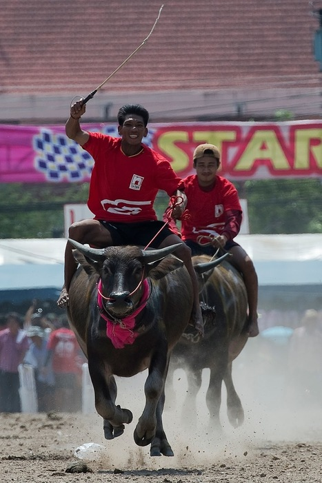 Bangkok: 2015 Buffalo Races in Pictures | World News | Scoop.it