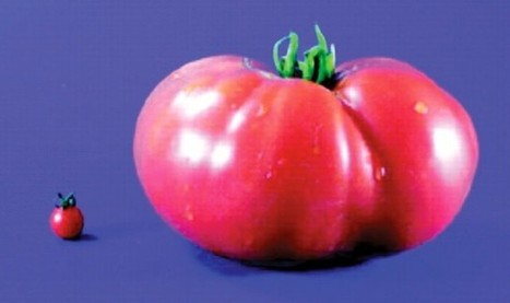 Are tomatoes naturally unnatural? - AoB Blog | Erba Volant - Applied Plant Science | Scoop.it
