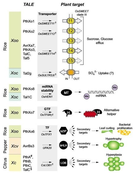 New Phytologist: TAL effectors – pathogen strategies and plant resistance engineering (2014) | Plants and Microbes | Scoop.it