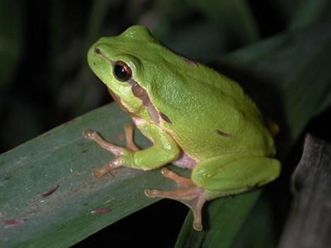 European Tree Frogs at Night | British Library Sounds | DESARTSONNANTS - CRÉATION SONORE ET ENVIRONNEMENT - ENVIRONMENTAL SOUND ART - PAYSAGES ET ECOLOGIE SONORE | Scoop.it