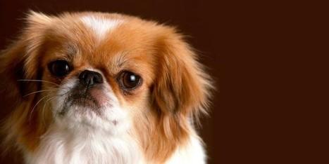 Il Pechinese: un cane distintamente riservato, snob e raffinato   best5.it   Vari   Scoop.it
