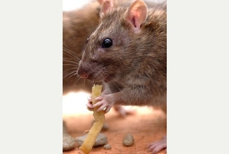 Rat infestations in Stoke-on-Trent and Staffordshire homes rise dramatically | pest control | Scoop.it