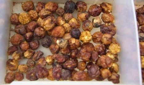 Indigenous Crop: Dried or Fresh, Wild Bush Tomato Is Delicious and Nutritious | Food History & New Markets | Scoop.it