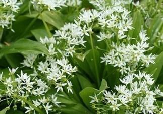 Piante spontanee: l'aglio orsino | About gardening | Scoop.it