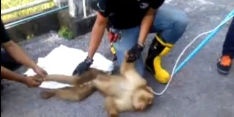 Watch a team of paramedics save the life of an electrocuted monkey | Digital-News on Scoop.it today | Scoop.it