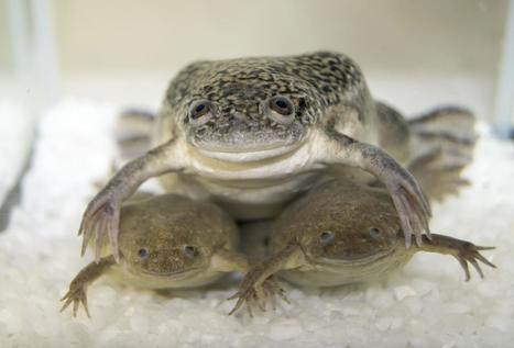 Double Dose Of Frog DNA Plagues Creationism | Atheism and Science | Scoop.it