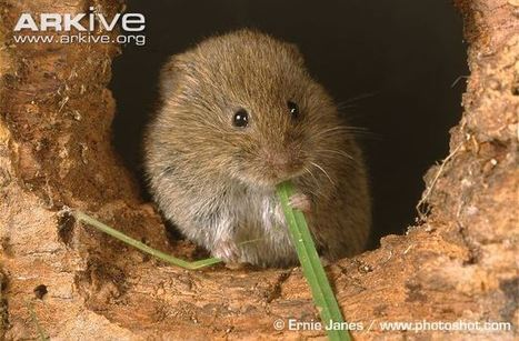 Field vole videos, photos and facts - Microtus agrestis | ARKive | British wildlife | Scoop.it