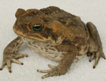 CSIRO cane toad research | CSIRO | The cane toad | Scoop.it