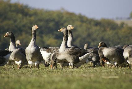 Polémique autour du foie gras d'un grand magasin londonien | Ecologie et protection animale | Scoop.it