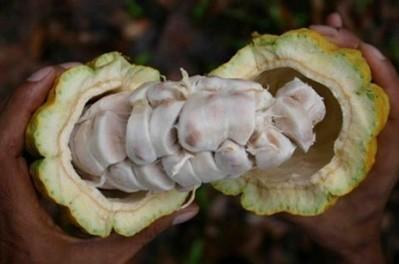 Côte d'Ivoire : Café-Cacao, huit acheteurs véreux condamnés ! - Koaci   FILIERE CAFE CACAO EN COTE D'IVOIRE   Scoop.it