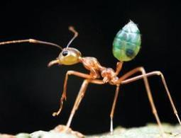 AMAZING NATURE: Weaver ants help flowers get the best pollinator | Biodiversity IS Life  – #Conservation #Ecosystems #Wildlife #Rivers #Forests #Environment | Scoop.it
