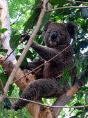 Koala : fiche d'identité   Le Koala   Scoop.it