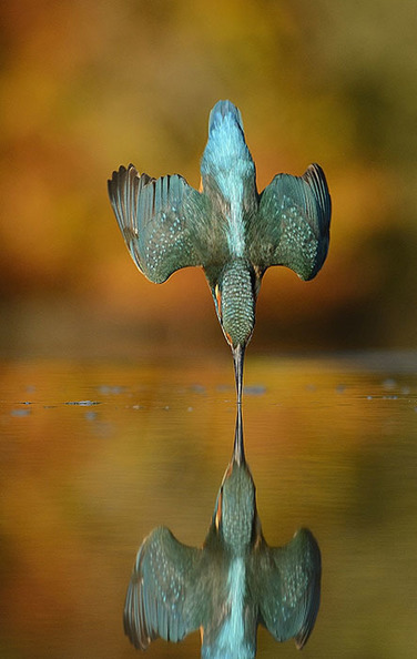 This Shot of a Diving Kingfisher Was 6 Years and 720K Photos in the Making | xposing world of Photography & Design | Scoop.it