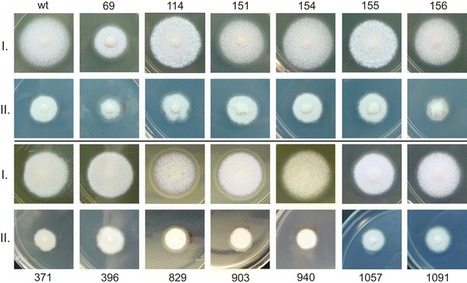 Agrobacterium-mediated insertional mutagenesis in the mycorrhizal fungus Laccaria bicolor | MycorWeb Plant-Microbe Interactions | Scoop.it