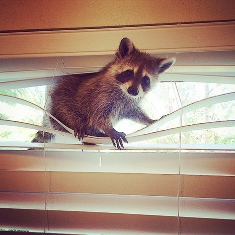 21 Adorable Photos Of A Rescued Raccoon And Her Adopted Family   Wandering Salsero   Scoop.it