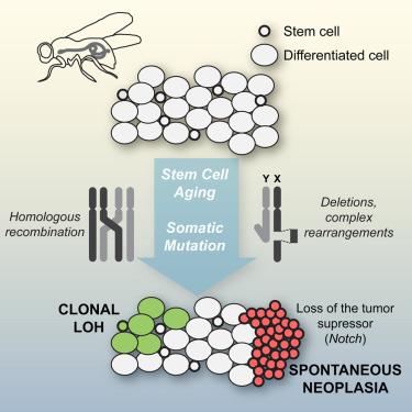 Cancer, vieillissement, cellules souches : les liens se resserrent | EntomoNews | Scoop.it
